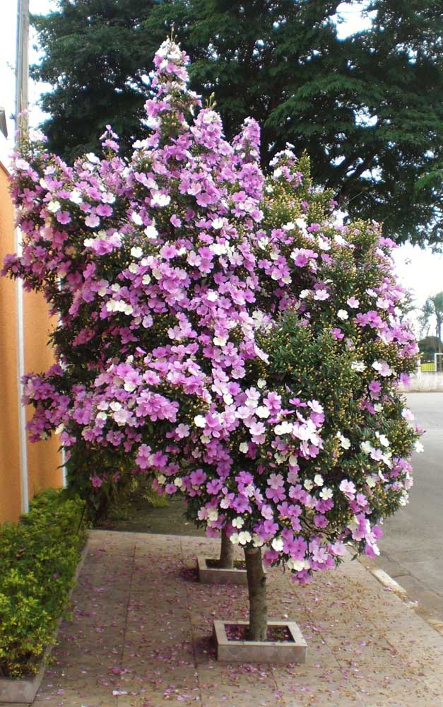 A poda do Manacá da Serra deve acontecer sempre depois da floração