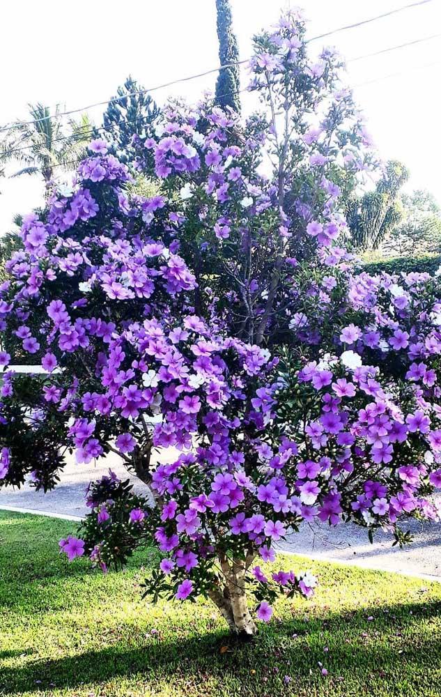 Ao contrário do que se pode pensar, o Manacá da Serra não dá flores em três tons, elas apenas mudam de coloração com o tempo