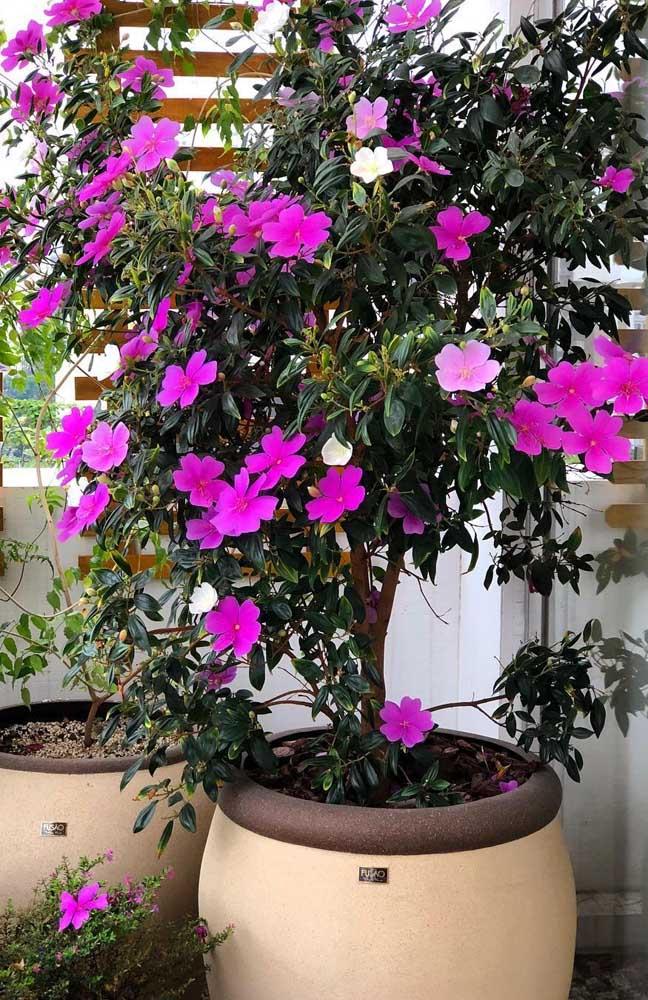 Se for cultivar o Manacá da Serra em vaso prefira a versão anão e plante-o em um vaso de tamanho grande