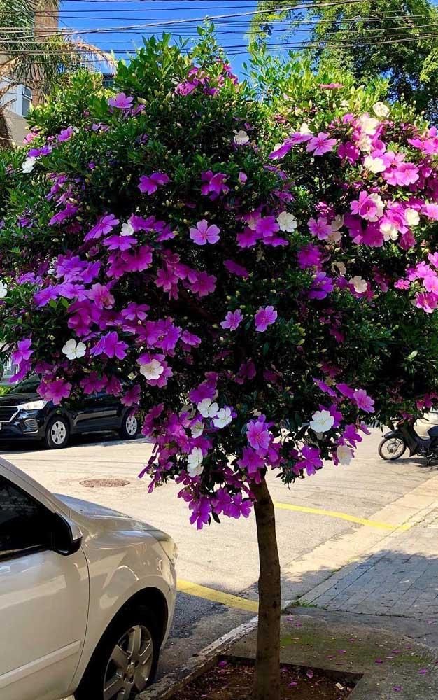 Quer uma árvore para a calçada de casa? Escolha o Manacá da Serra, a espécie é perfeita!