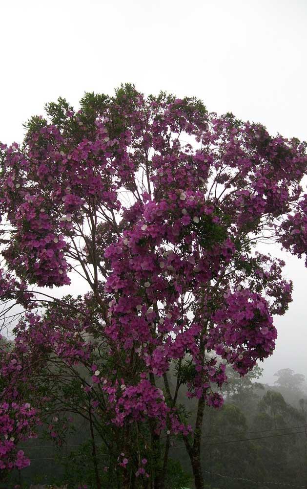Três cores diferentes ao mesmo tempo: uma particularidade incrível do Manacá da Serra
