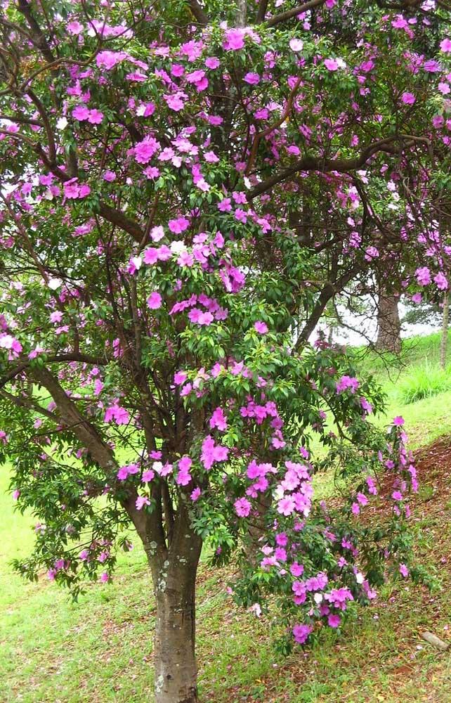 Manacá da Serra em floração revelando suas variadas cores