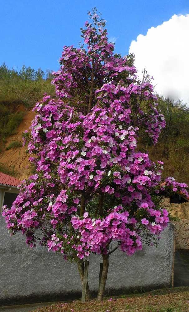 Rente ao muro da casa, esse Manacá da Serra é um exemplo de como as ruas ficam mais bonitas com a árvore