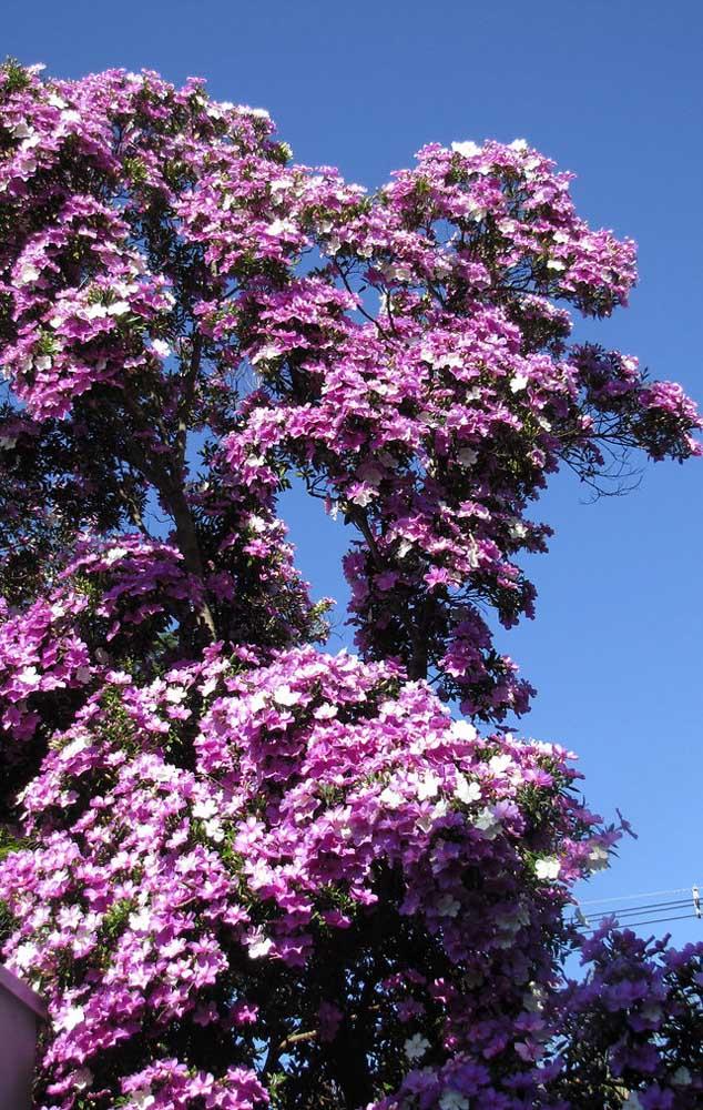 Manacá da Serra para a varanda; junto das outras plantas, a espécie fica ainda mais bonita