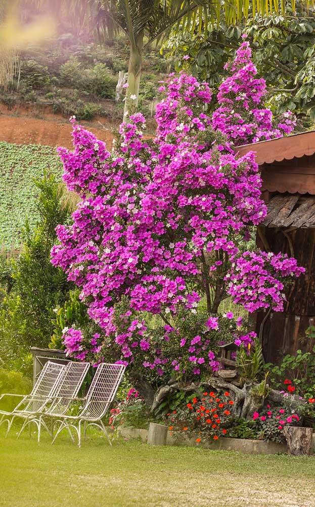 Como não se sentir em paz e relaxado ao ser abraçado por esses dois Manacás da Serra floridos?
