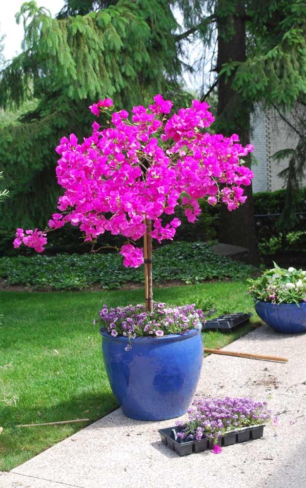 Manacá da Serra no vaso: um mini espetáculo de cores e flores