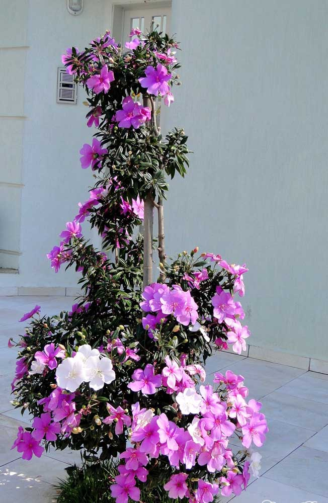 O Manacá da Serra em vaso é de uma delicadeza e beleza indescritíveis