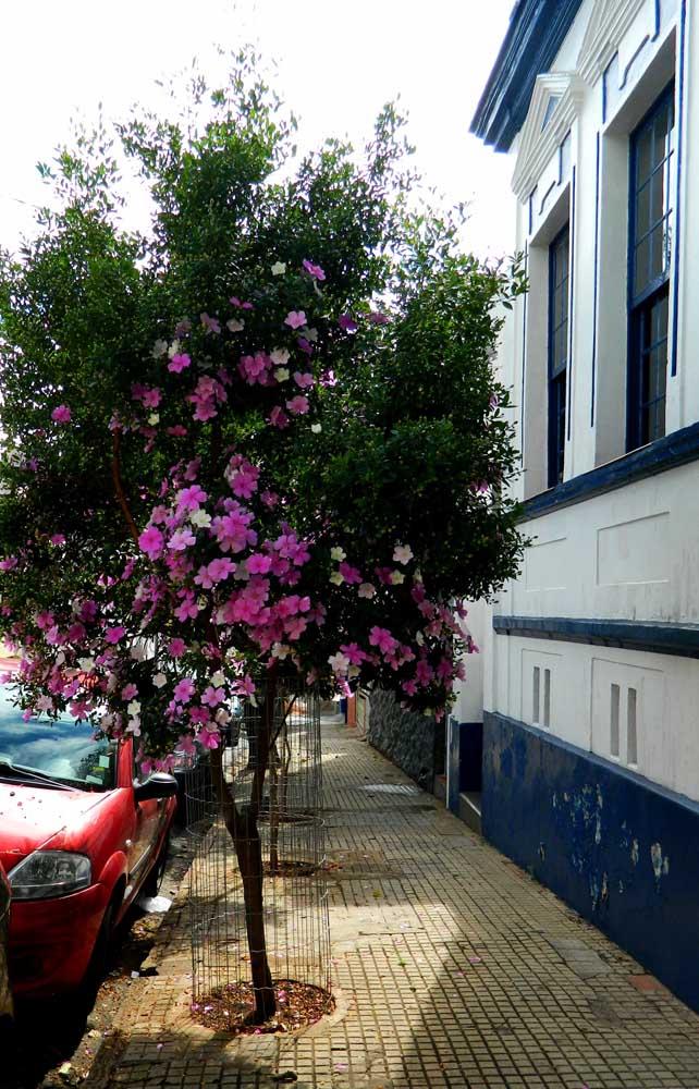 O casarão antigo ganhou ainda mais beleza com o Manacá da Serra na calçada