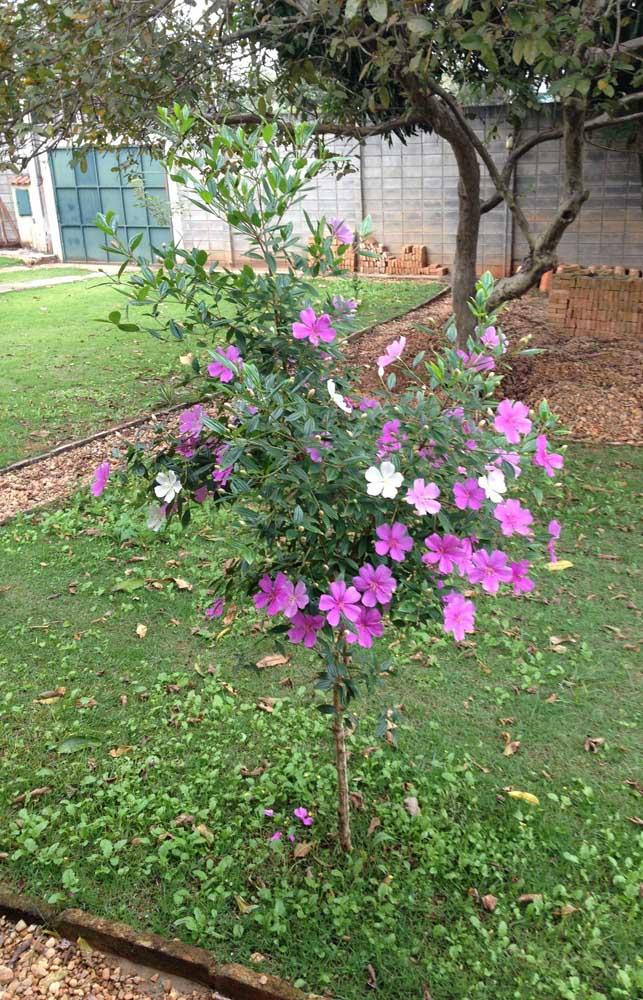 Manacá da Serra ainda em muda, recém plantado no jardim