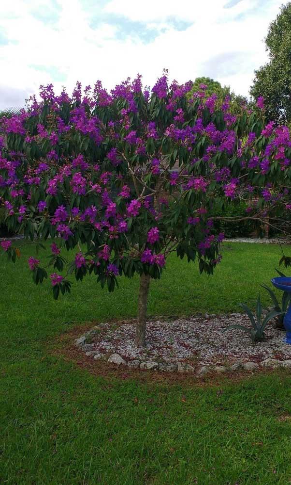No jardim, o Manacá da Serra precisa de adubação a cada três meses