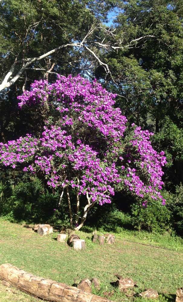 Um lugar iluminado e ensolarado do jardim para o Manacá da Serra crescer e florescer