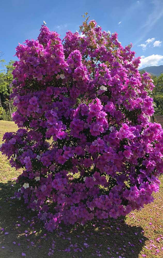 Parece uma bola de flores, mas é só o Manacá da Serra exibindo sua intensa floração