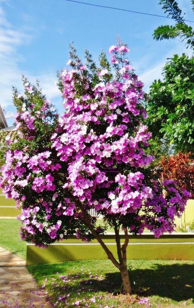 Não é só enquanto estão na árvore que as flores do Manacá da Serra dão um show; ao caírem no chão, elas formam um lindo tapete florido