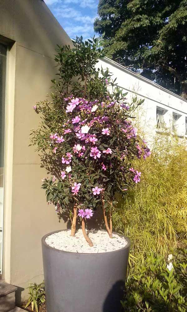 Um vaso de tamanho perfeito para acomodar o crescimento do Manacá da Serra Anão
