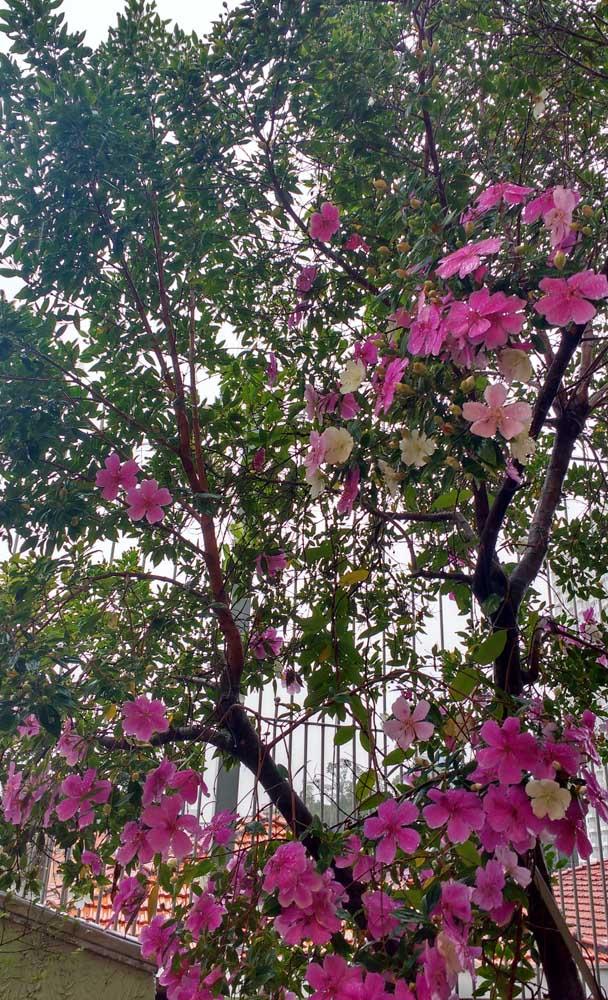 Aprecie o espetáculo oferecido pelo Manacá da Serra, já que suas flores duram por pouco tempo