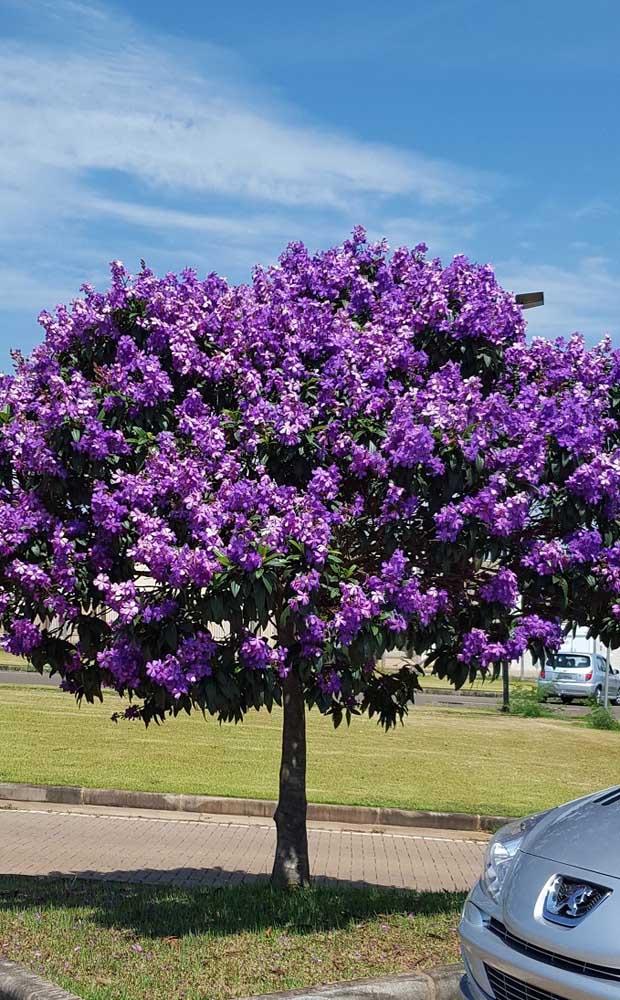 Espalhe essa beleza pelas ruas! Que tal plantar Manacás da Serra pela sua cidade?