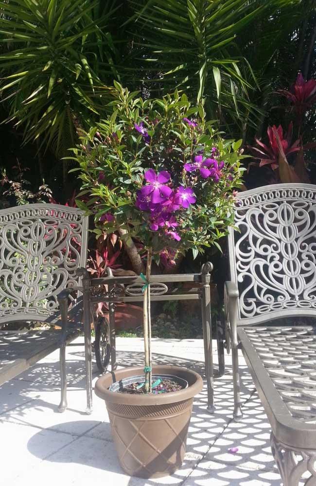 Manacá da Serra em vaso para decorar a área externa da casa