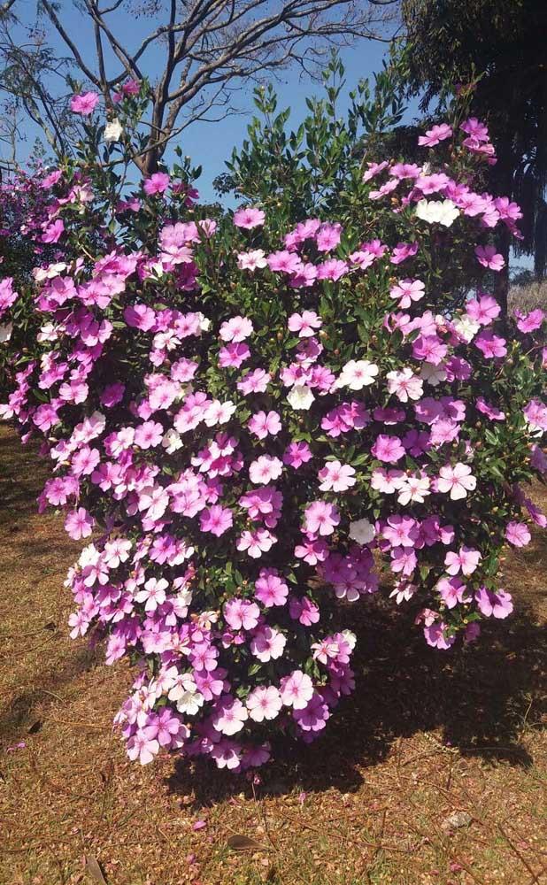 Muito sol para garantir a linda floração do Manacá da Serra