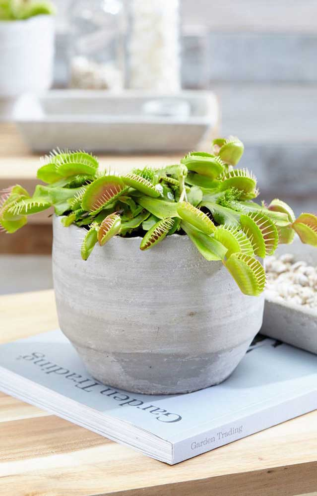 Vaso viçoso e muito bem cuidado de Dioneia, uma das plantas carnívoras mais cultivadas do mundo