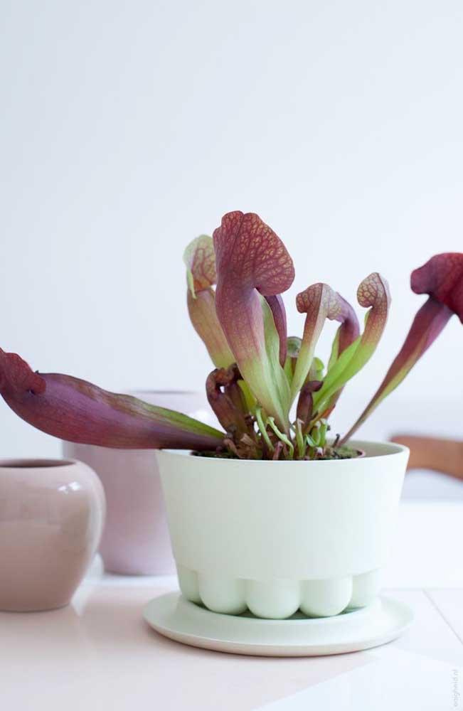 """Quando cultivada em vasos, a planta carnívora precisa ficar em um local onde possa fazer a """"caça"""" do próprio alimento"""