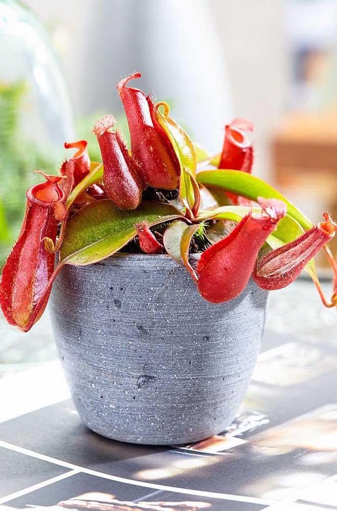 Planta carnívora Nepenthes cultivada em vaso