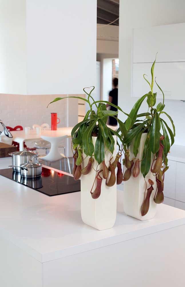 Já aqui, nessa cozinha, a dupla de Nepenthes mais desenvolvida decora com muita excentricidade