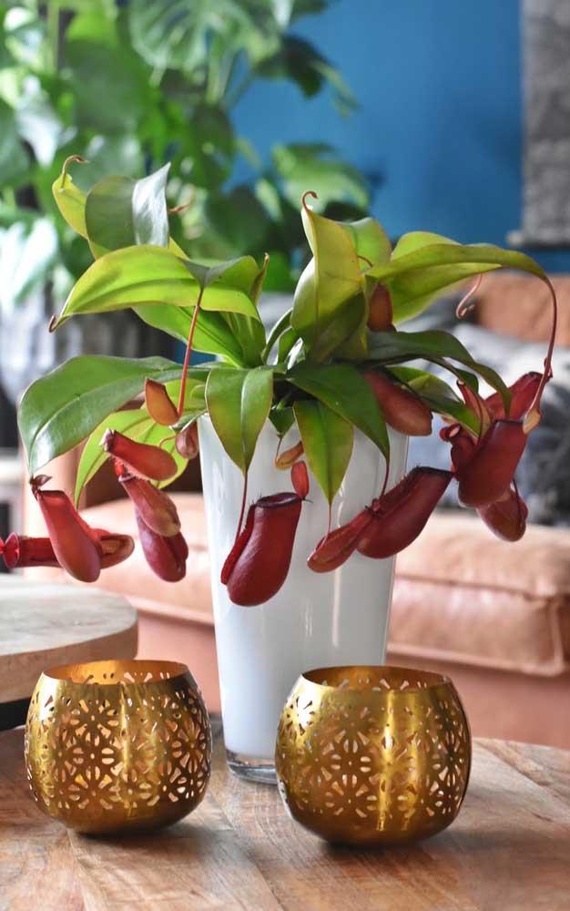 O formato de jarra da Nepenthes é o grande diferencial da espécie
