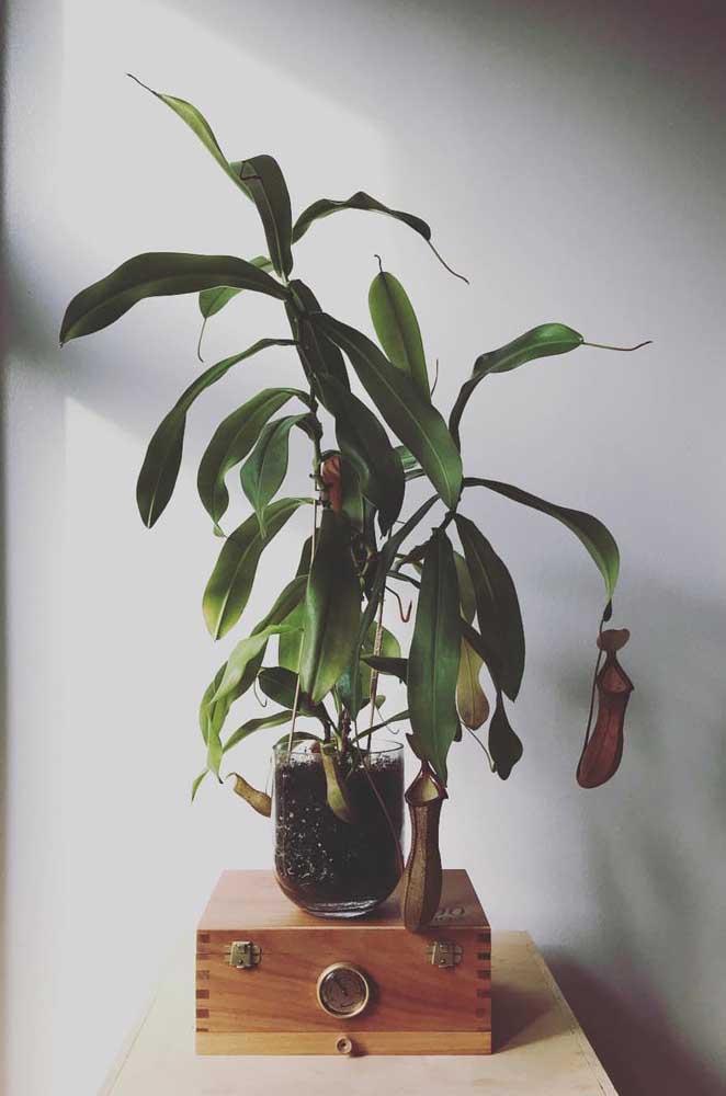 Quanto maior a jarra da Nepenthes, mais insetos ela é capaz de capturar