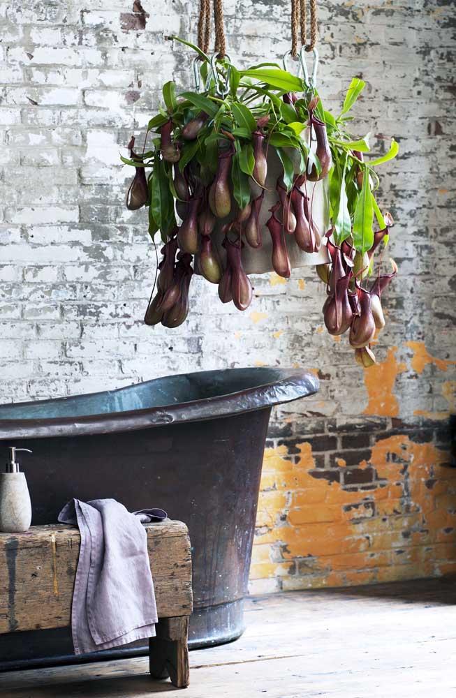Que inspiração mais original e pitoresca! Nepenthes suspensa sob a banheira