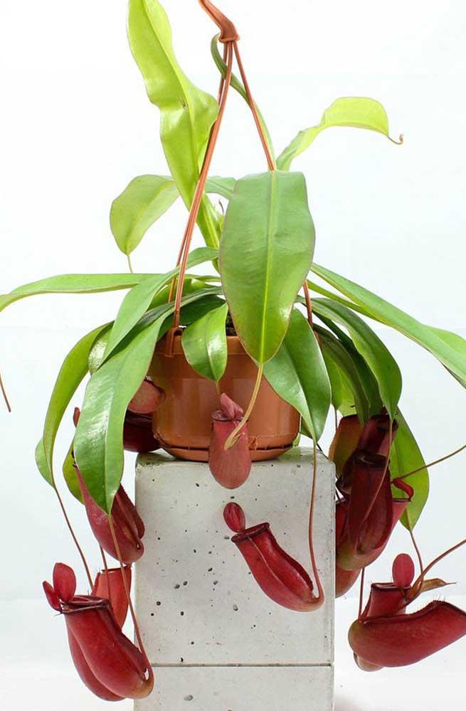 As jarras vermelhas da Nepenthes é um grande atrativo para os insetos
