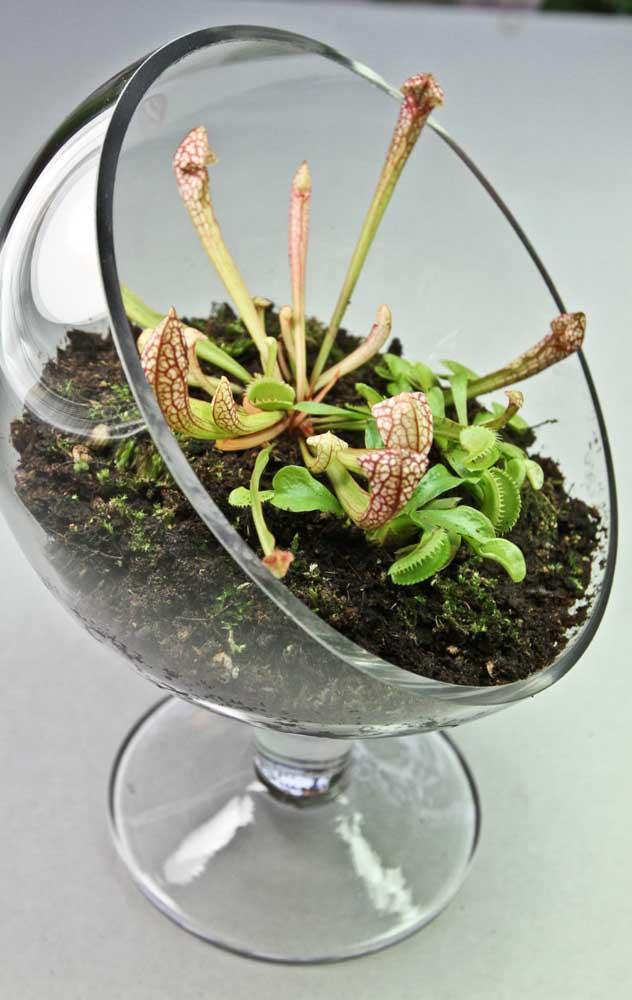 Mini terrário para duas espécies diferentes de planta carnívora