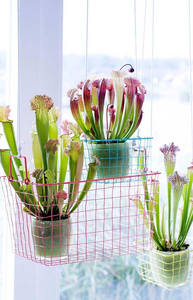 Sarracenias em tamanho grande cultivadas de modo suspenso perto da janela