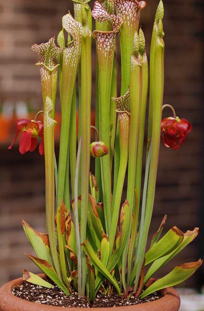 Sarracenia com flor: o perfume se altera ao longo do dia