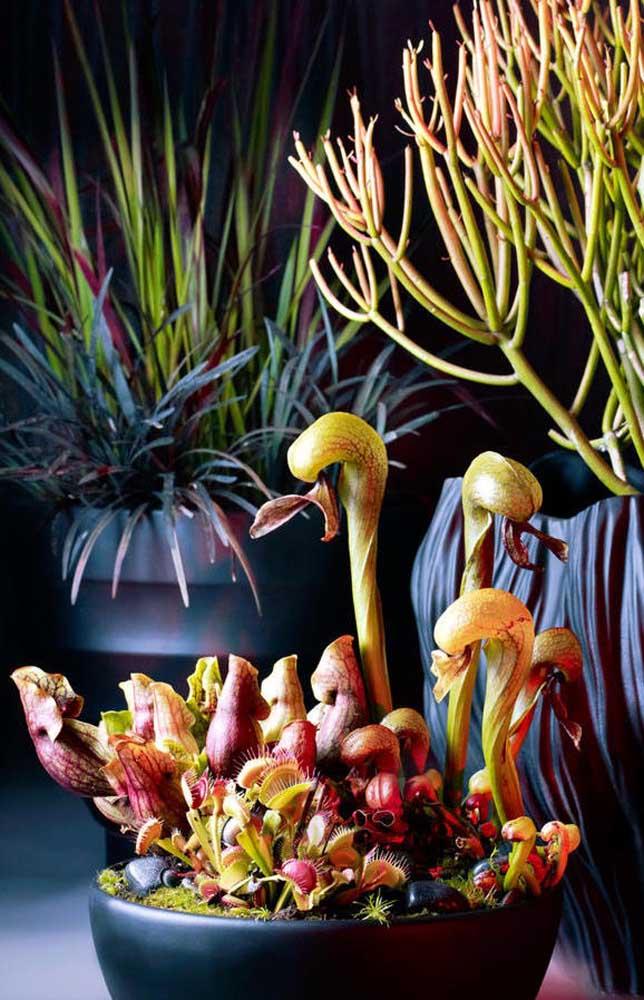 Linda composição de plantas carnívoras para a decoração da casa