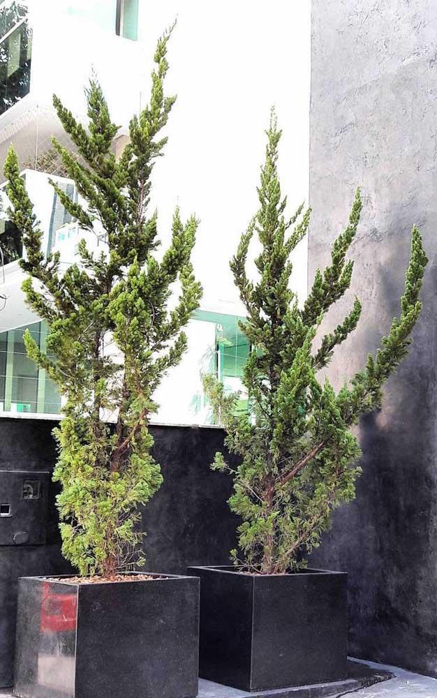 Dentro de vasos, as Kaizukas se desenvolvem igualmente bem, basta oferecer as condições adequadas de luz e adubação