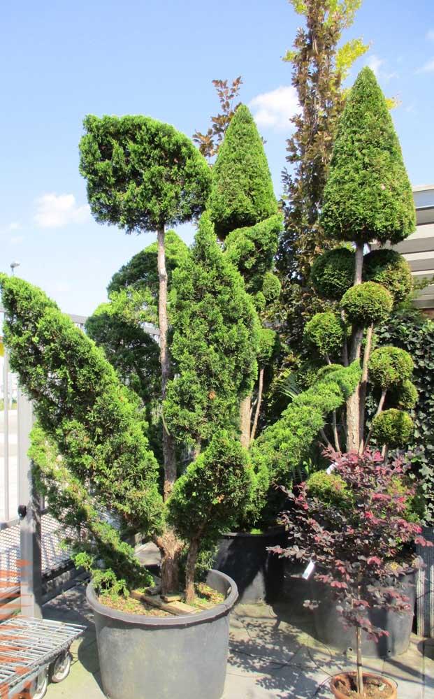 Mas se você não tiver um jardim em casa pode cultivar a sua Kaizuka em um vaso na varanda