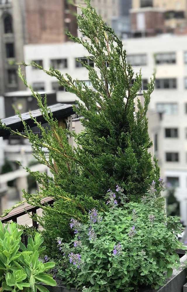 Kaizuka feliz da vida sendo cultivada em vaso na varanda do apartamento