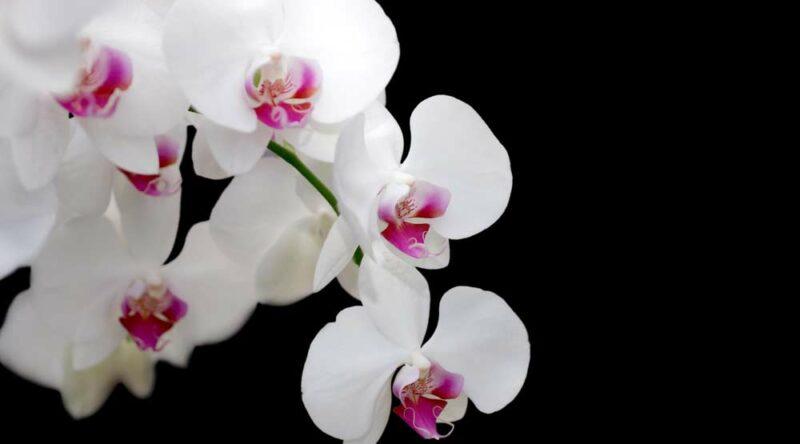 Como fazer muda de orquídea: por semente, na areia e outras dicas essenciais