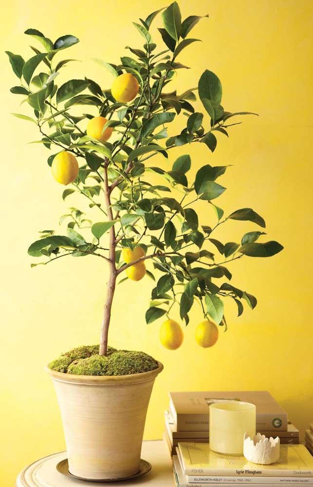 Limão siciliano em vaso: perfume a casa com a espécie