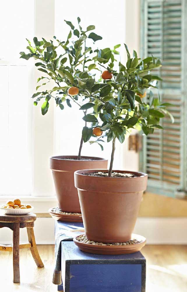 Mini laranjeiras Kikan cultivadas dentro de casa
