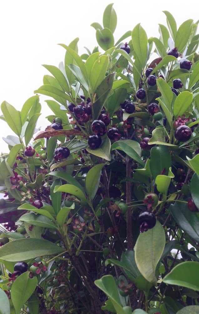 Os frutinhos da grumixameira também são deliciosos in natura