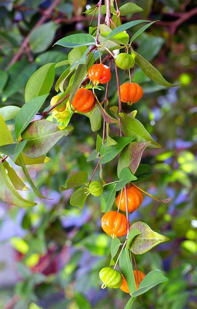 As folhas da pitangueira podem ser usadas em chás medicinais