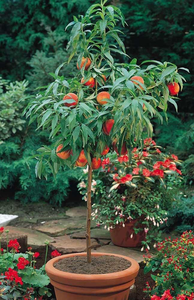 A romãzeira enxertada pode dar frutos mesmo em vasos