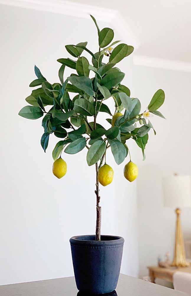 As mudas enxertadas de limão siciliano permitem o plantio em vasos pequenos