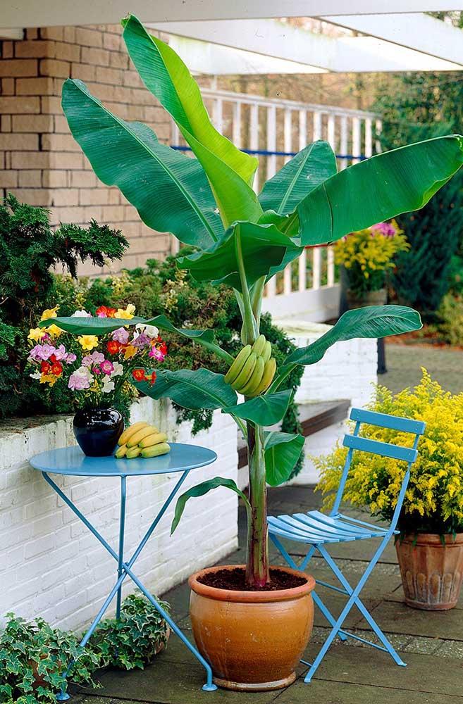 Além dos frutos, a bananeira é uma linda espécie decorativa