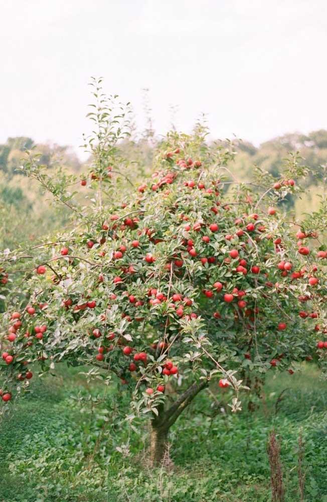 A macieira oferece frutos no outono