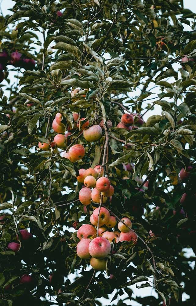 Quanto mais sol, mais doces e vermelhas serão as maçãs