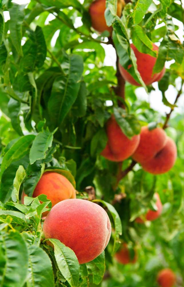 Os frutos podem ser colhidos entre julho e agosto