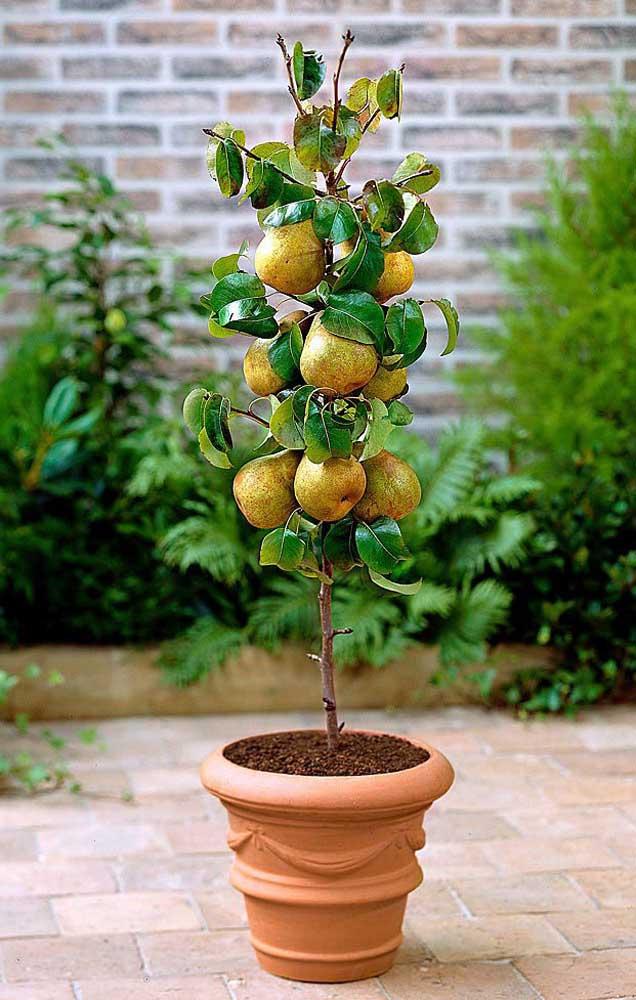 Mini pereira com frutos plantada em vaso