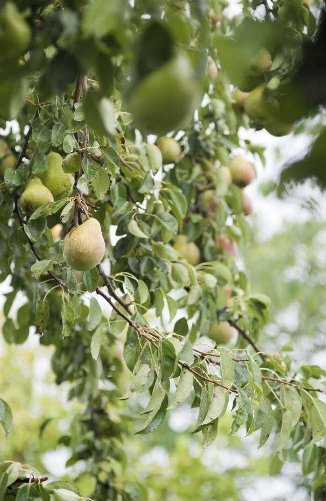 A região Sul é a maior produtora de peras no Brasil